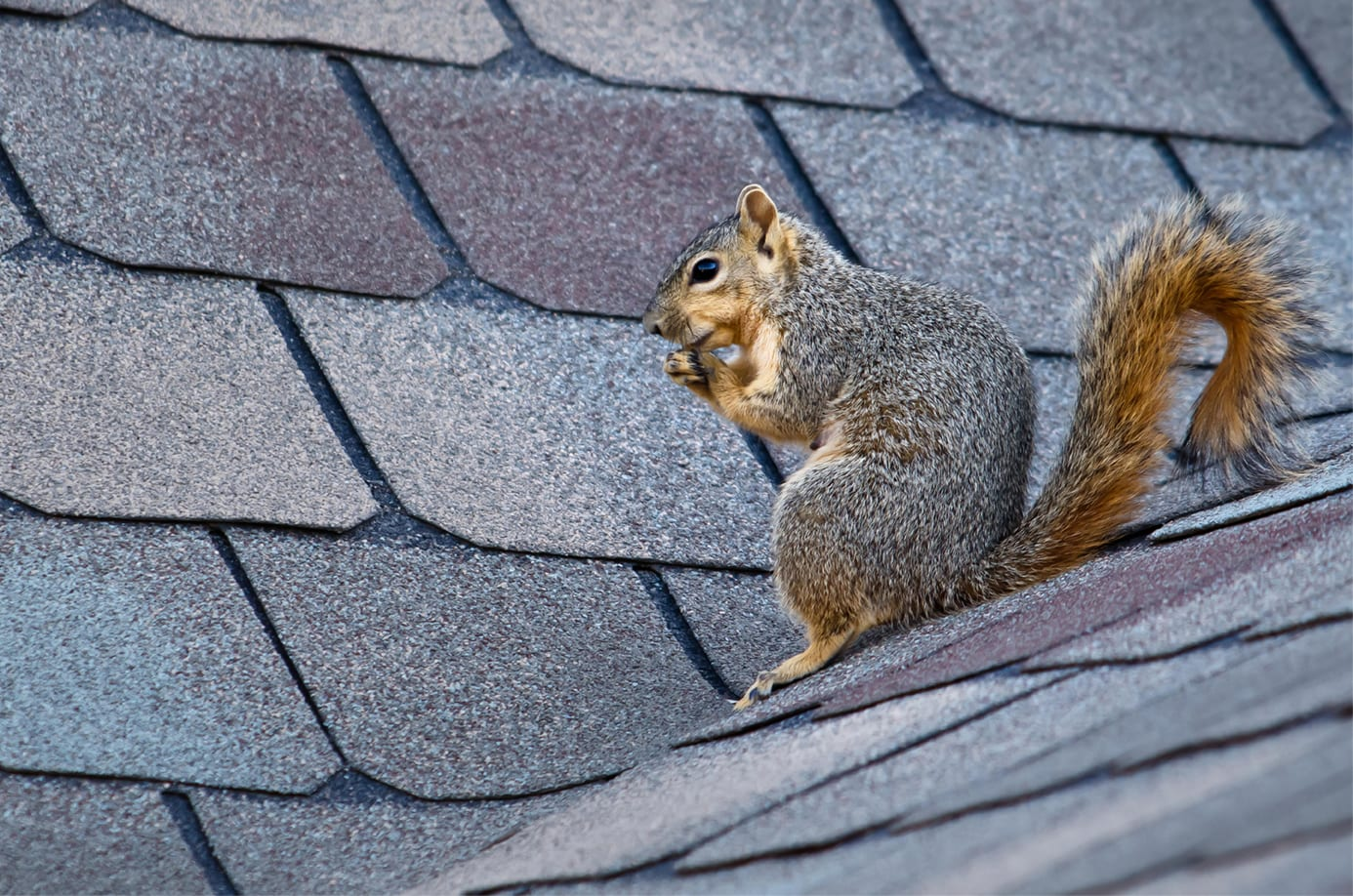 A Squirrely Problem How To Keep Critters Off Your Roof