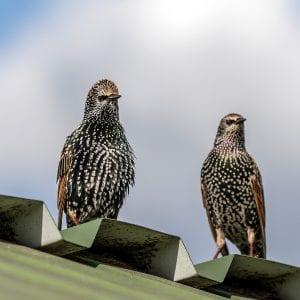 bird roof damage
